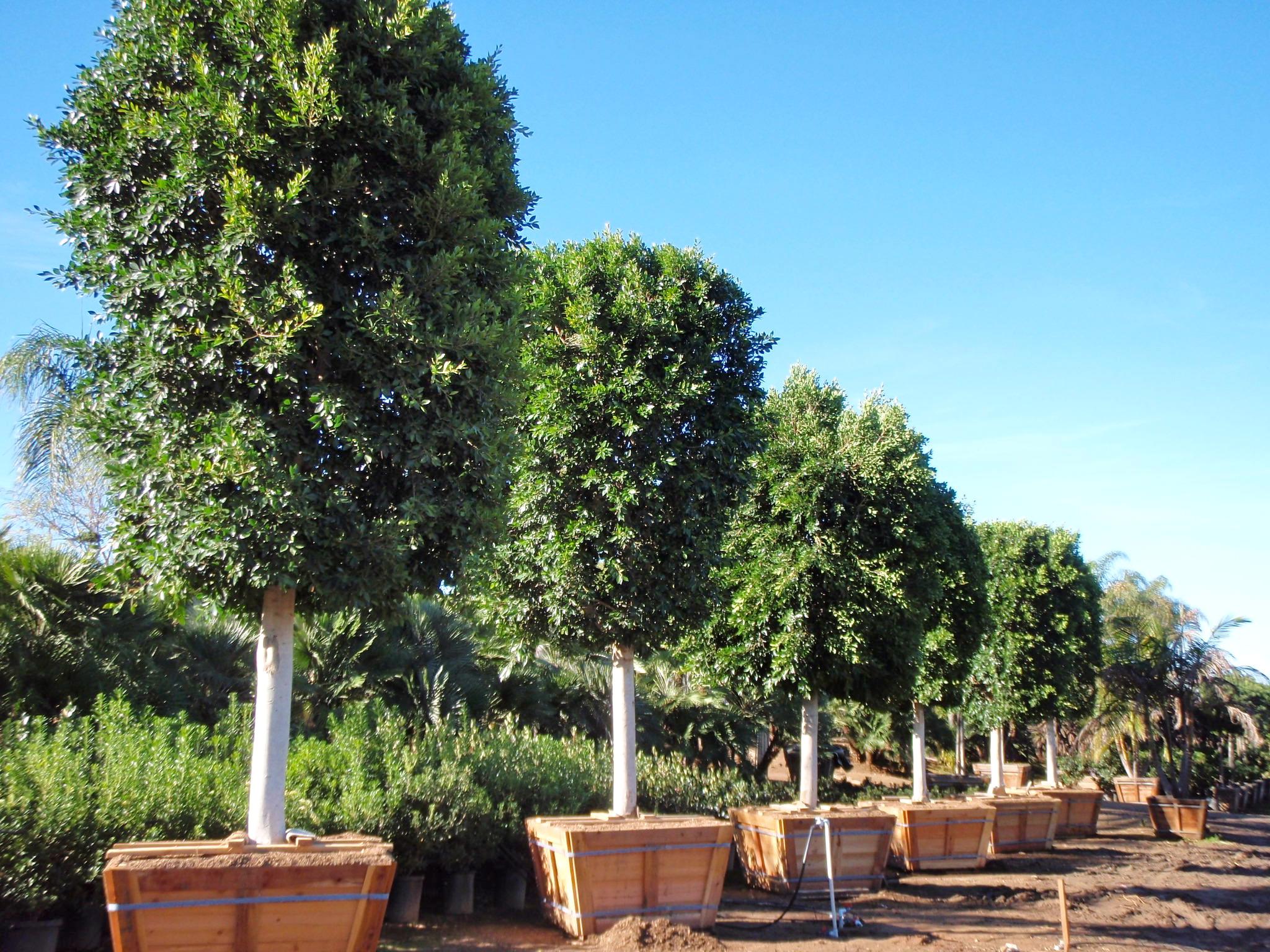 Specimen tree for Specimen trees